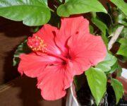 Čínska ruža, Hibiscus rosa-sinensis Cairo,Ibištek izbový