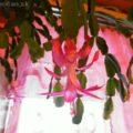 Vianočný kaktus