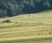 Ovce pasúce sa pod Hájovou dolinou.