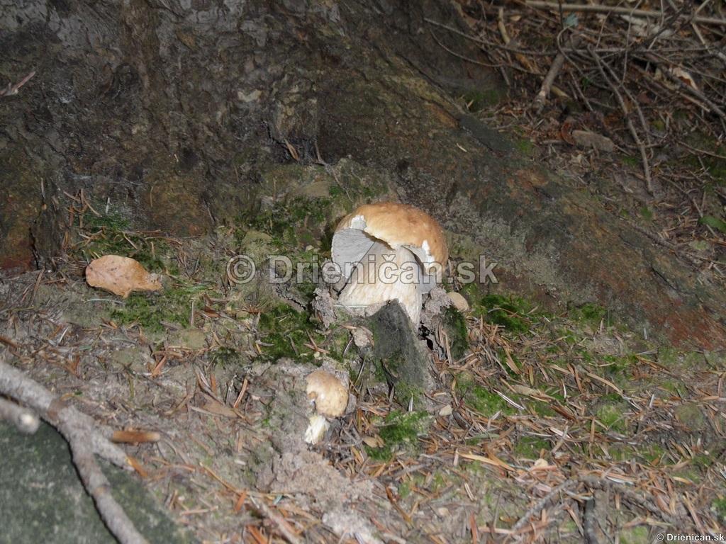 Boletus reticulatus, boletus edulis