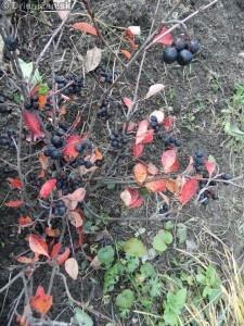Arónia čiernoplodá, pestovanie doma