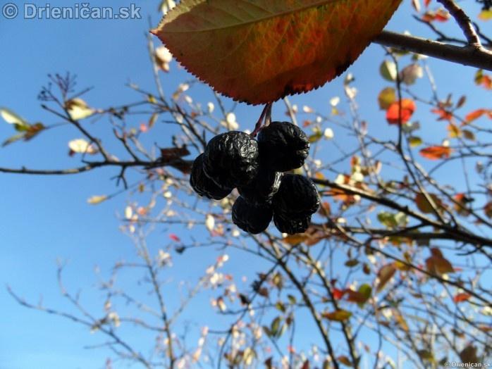 Aronia čiernoplodá