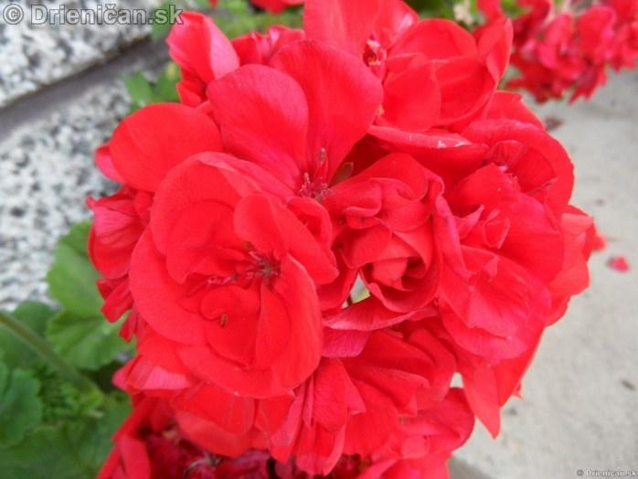drienica,kvety,leto,zahradka,pestovanie,