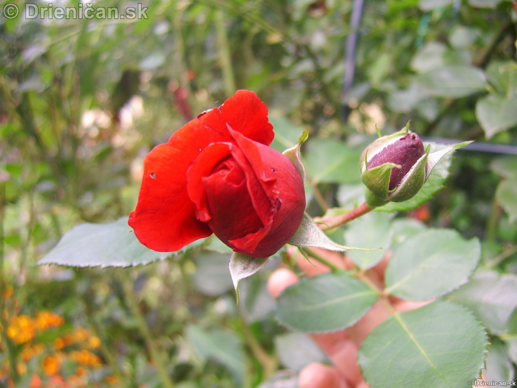 Kvety v záhradke a doma Drienica