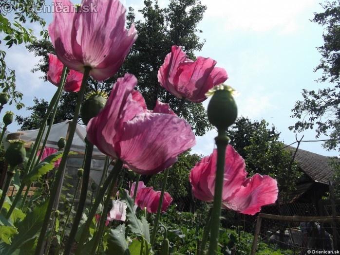 Drienica Mak siaty-Papaver somniferum