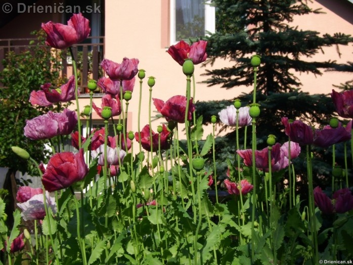 Mak siaty (Papaver somniferum) je rastlina