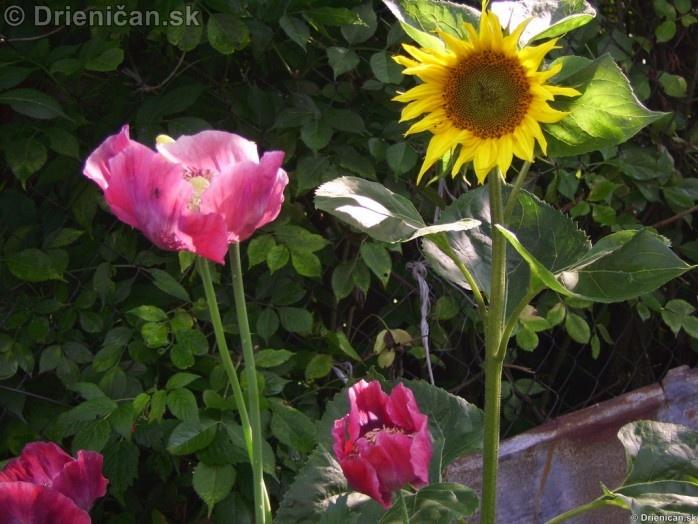 Jednoročná rastlina s kvetmi, ktoré sú bielej, ružovej, červenej alebo fialovej farby.