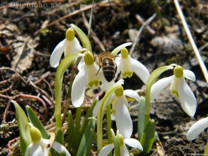 Snezienky,Snowdrops,Galanthus nivalis_11