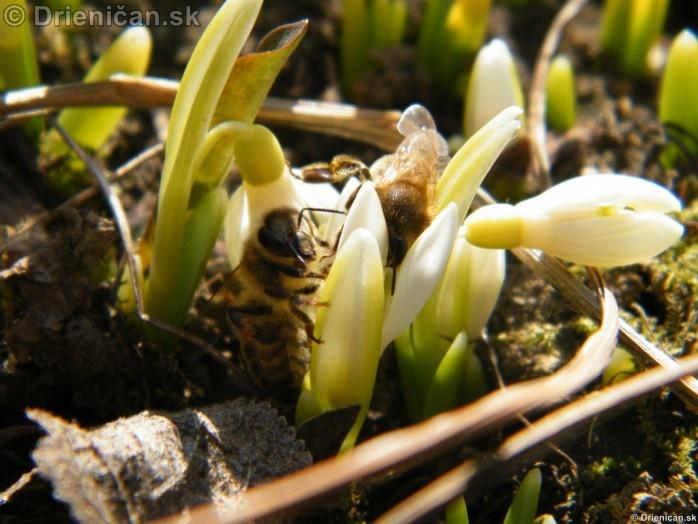 Snezienky,Snowdrops,Galanthus nivalis_14
