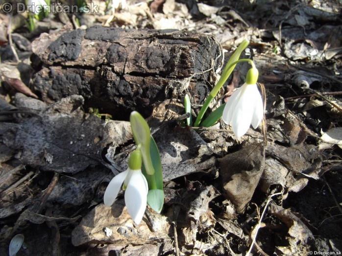 Snezienky,Snowdrops,Galanthus nivalis_24