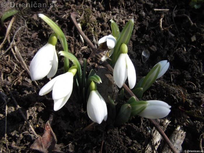 Snezienky,Snowdrops,Galanthus nivalis_28