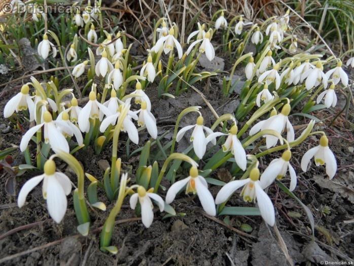 Snezienky,Snowdrops,Galanthus nivalis_35