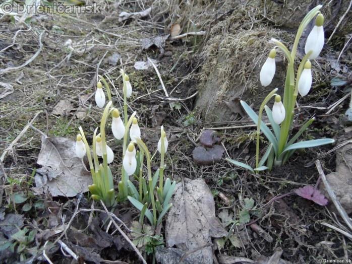 Snezienky,Snowdrops,Galanthus nivalis_37