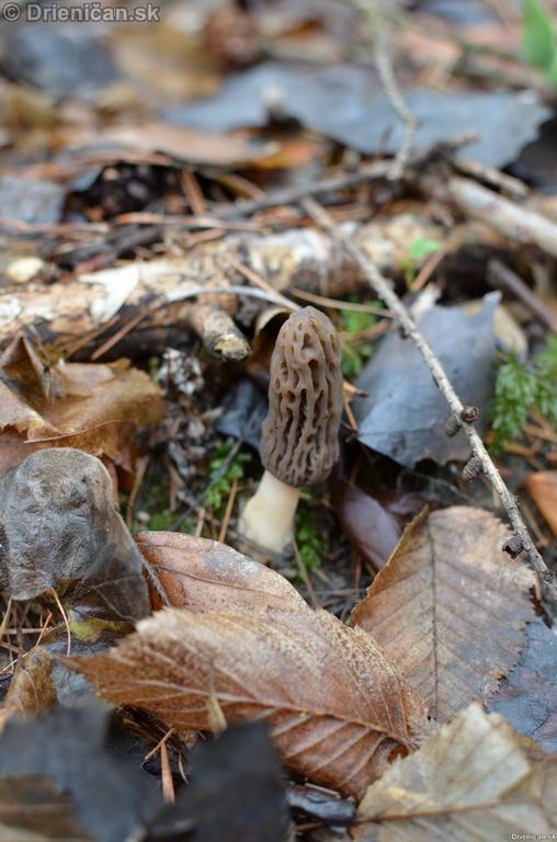 Smrckovec cesky Ptychoverpa bohemica, Drienica 15 april2012_02