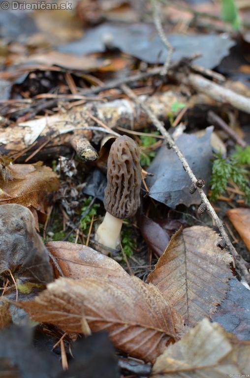Smrckovec cesky Ptychoverpa bohemica, Drienica 15 april2012_03