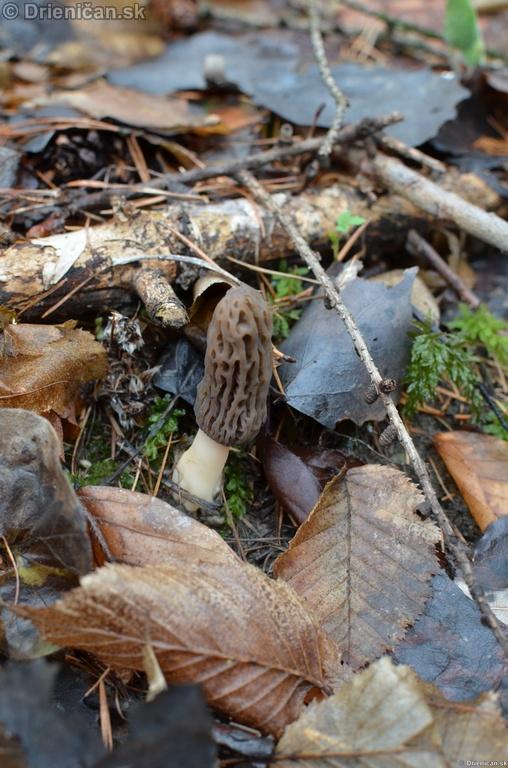 Smrckovec cesky Ptychoverpa bohemica, Drienica 15 april2012_04