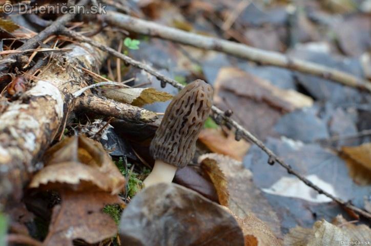 Smrckovec cesky Ptychoverpa bohemica, Drienica 15 april2012_06