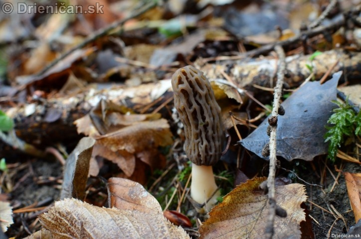 Smrckovec cesky Ptychoverpa bohemica, Drienica 15 april2012_10