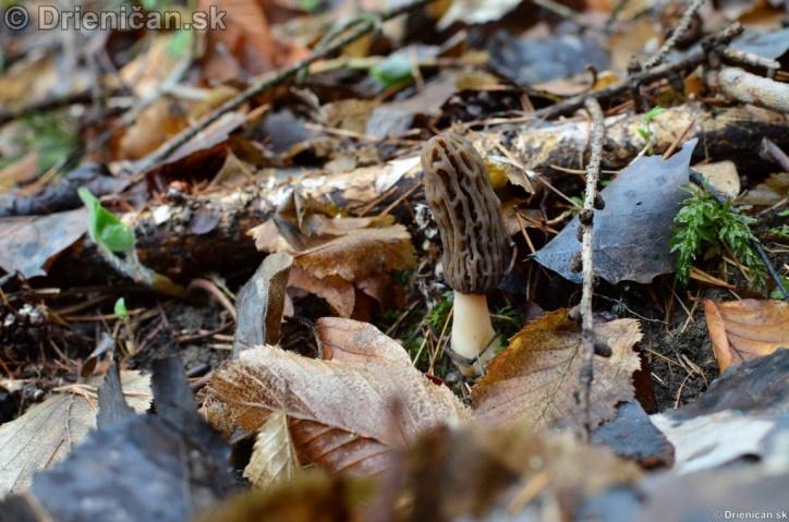 Smrckovec cesky Ptychoverpa bohemica, Drienica 15 april2012_11