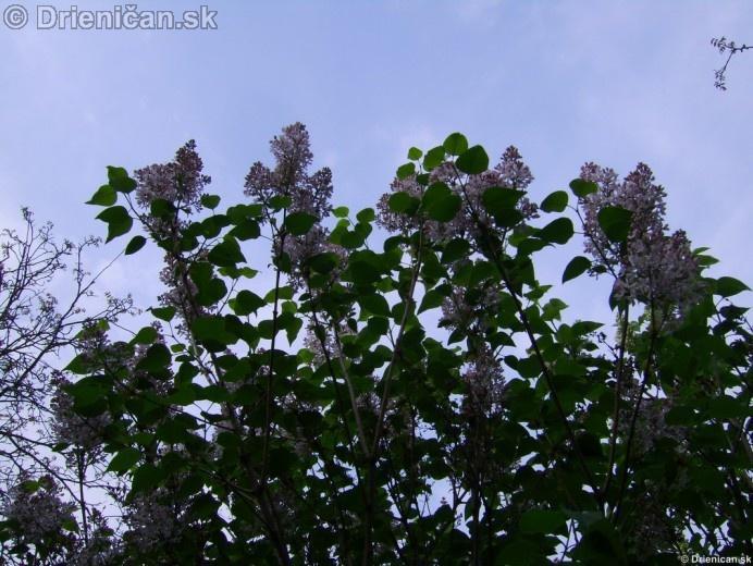 Orgovan 2012-Syringa vulgaris_03
