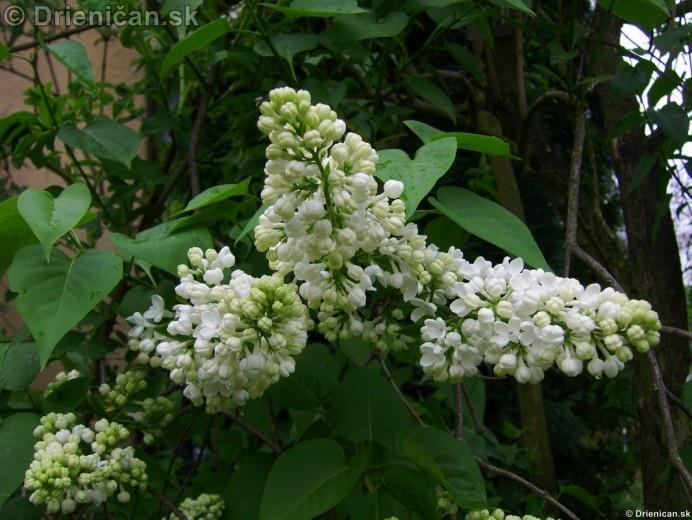 Orgovan 2012-Syringa vulgaris_10