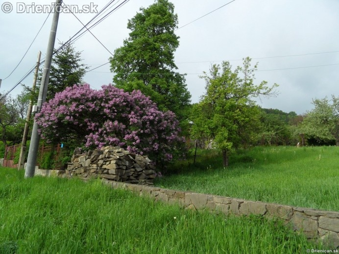Orgovan 2012-Syringa vulgaris_16