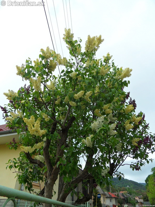 Orgovan 2012-Syringa vulgaris_17