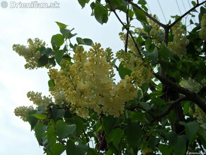 Orgovan 2012-Syringa vulgaris_20