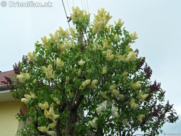 Orgovan 2012-Syringa vulgaris_22