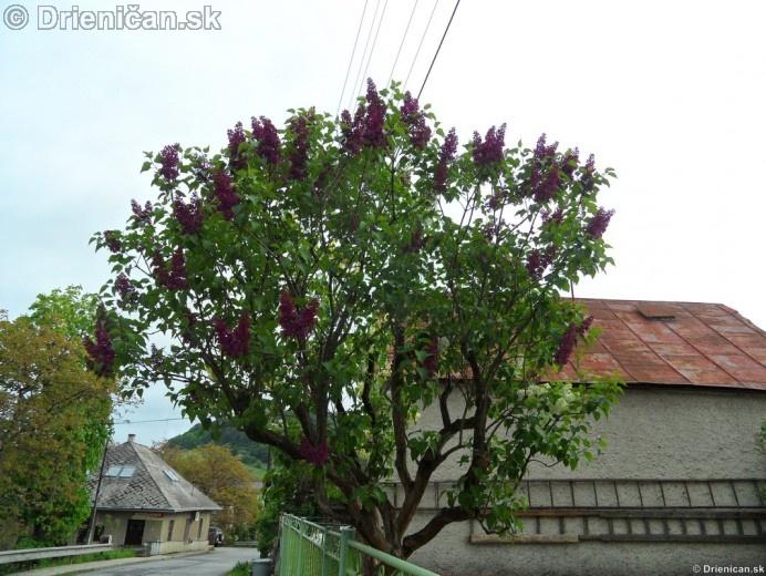 Orgovan 2012-Syringa vulgaris_23