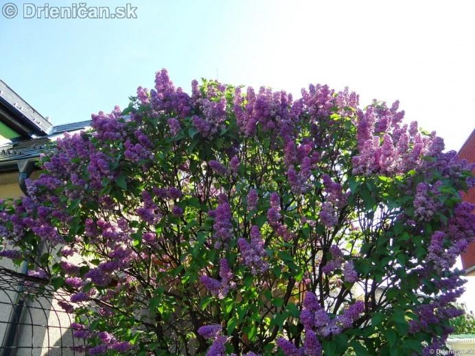 Orgovan 2012-Syringa vulgaris_25