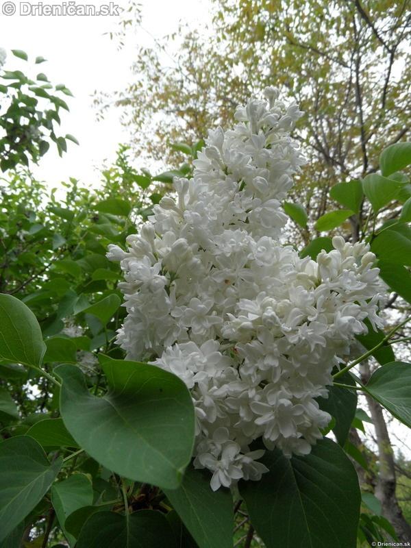 Orgovan 2012-Syringa vulgaris_29