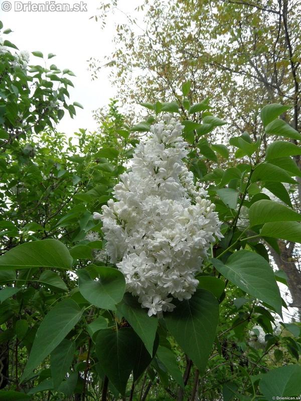 Orgovan 2012-Syringa vulgaris_30
