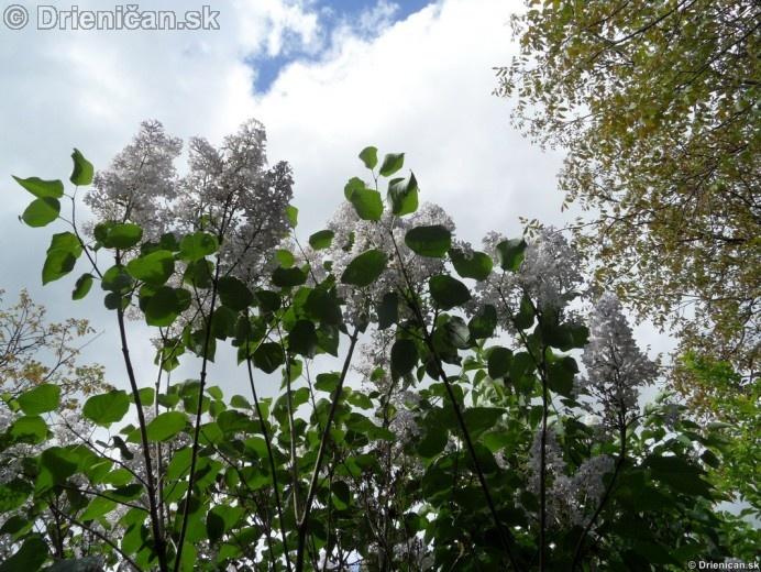 Orgovan 2012-Syringa vulgaris_31