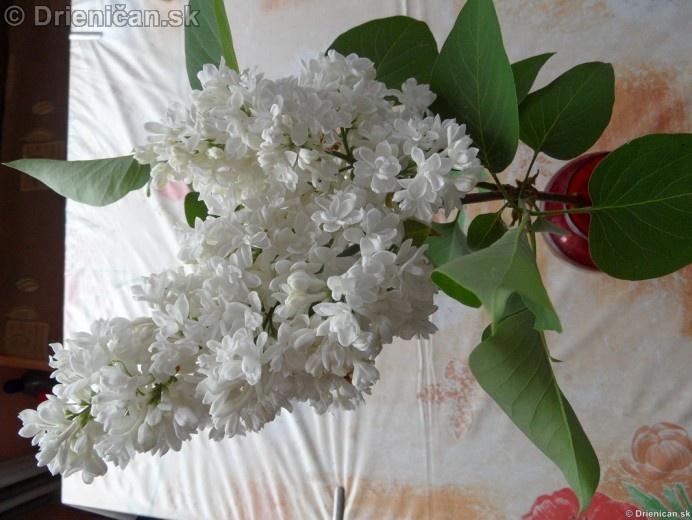 Orgovan 2012-Syringa vulgaris_32