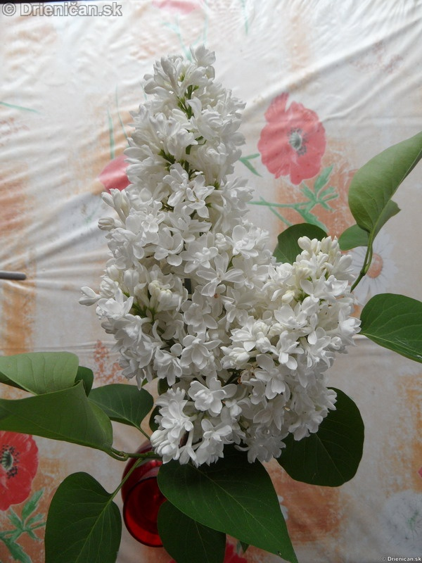 Orgovan 2012-Syringa vulgaris_33