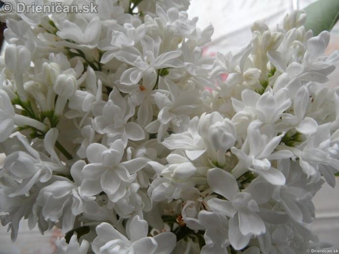 Orgovan 2012-Syringa vulgaris_34