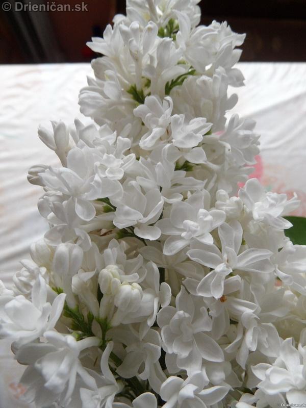 Orgovan 2012-Syringa vulgaris_35