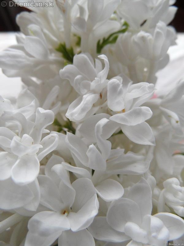 Orgovan 2012-Syringa vulgaris_36