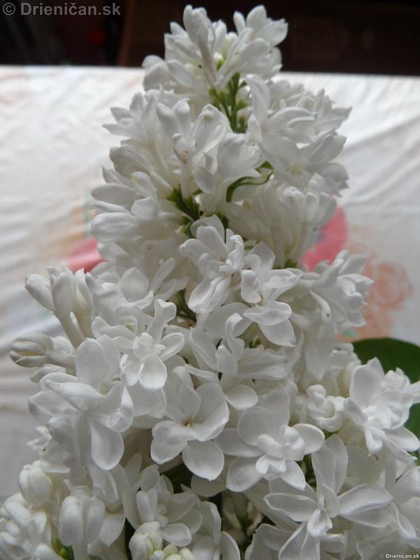 Orgovan 2012-Syringa vulgaris_37