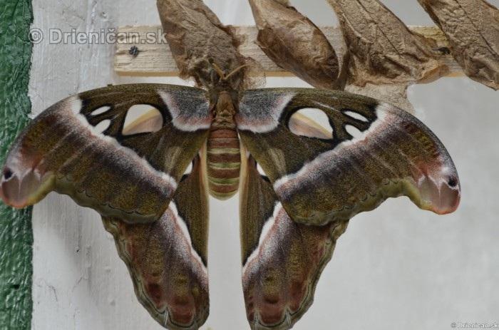 Tropicke motyle v botanickej zahrade Kosice_04