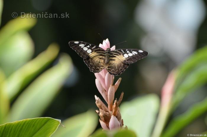 Tropicke motyle v botanickej zahrade Kosice_05