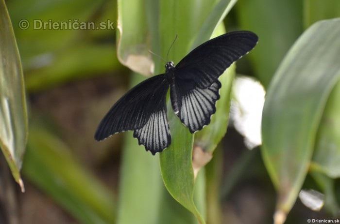 Tropicke motyle v botanickej zahrade Kosice_07