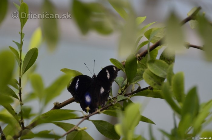 Tropicke motyle v botanickej zahrade Kosice_09
