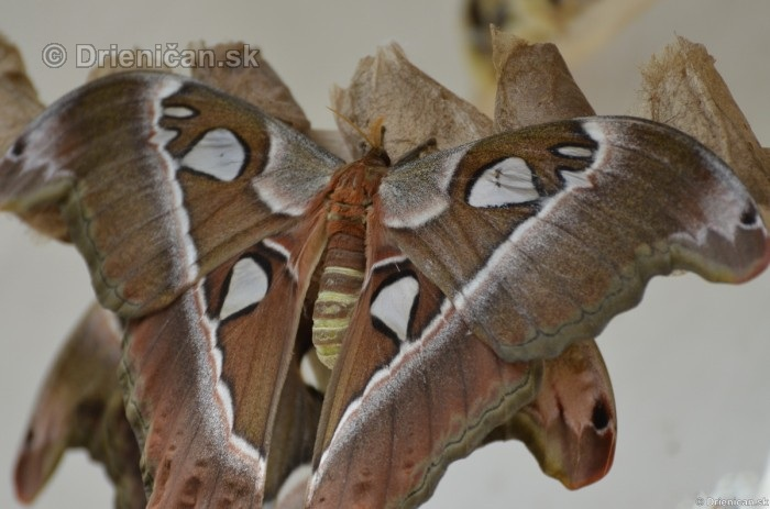 Tropicke motyle v botanickej zahrade Kosice_21
