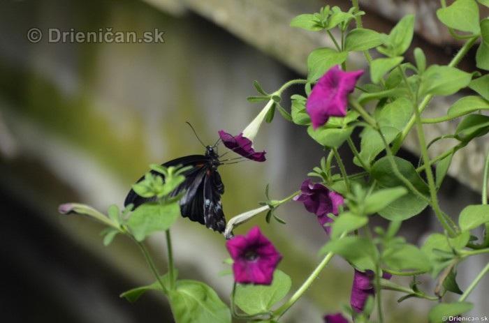 Tropicke motyle v botanickej zahrade Kosice_22