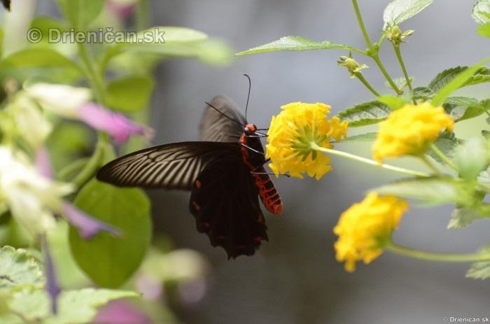 Tropicke motyle v botanickej zahrade Kosice_25