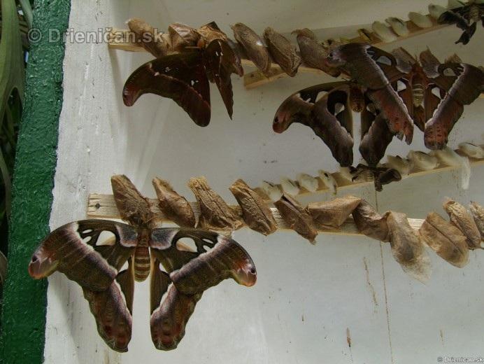 Tropicke motyle v botanickej zahrade Kosice_29