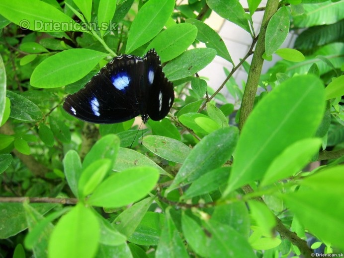 Tropicke motyle v botanickej zahrade Kosice_32