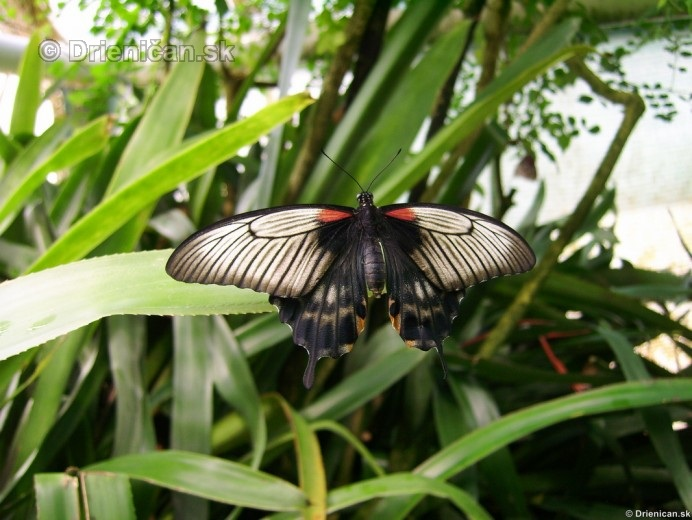 Tropicke motyle v botanickej zahrade Kosice_33